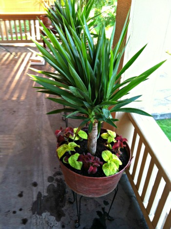 Yucca Decorated